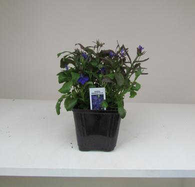 Lobelia Rivieria Midnight Blue