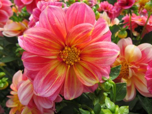 Colorful Dahlia Bouquet
