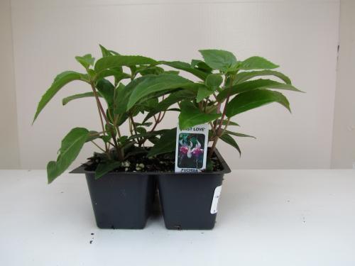 Fuchsia First Love 2