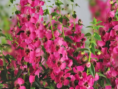 Angelonia Archangel Raspberry