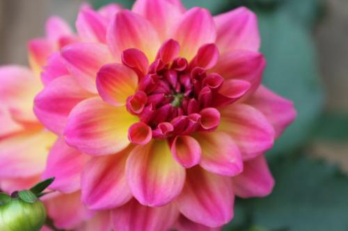 Dahlia Hypnotica Rose Bicolor