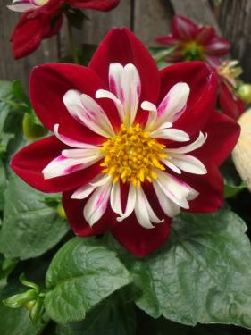 Dahlia Starsister Red And White