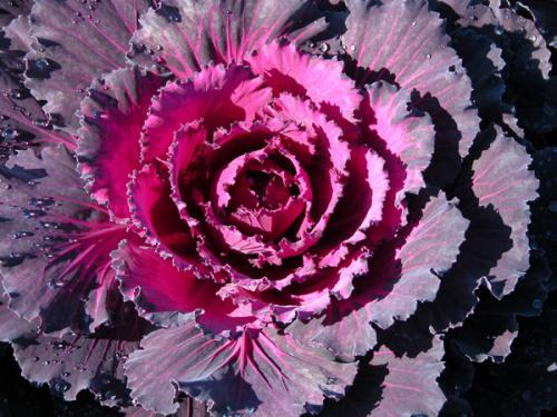 Cabbage Osaka Dynasty Red