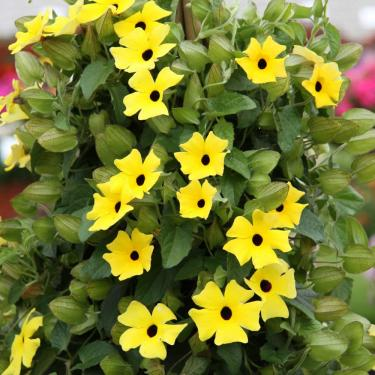 Thunbergia Sunny Lemon Star
