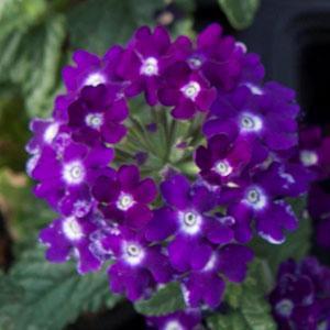 Verbena Lascar Dark Violet