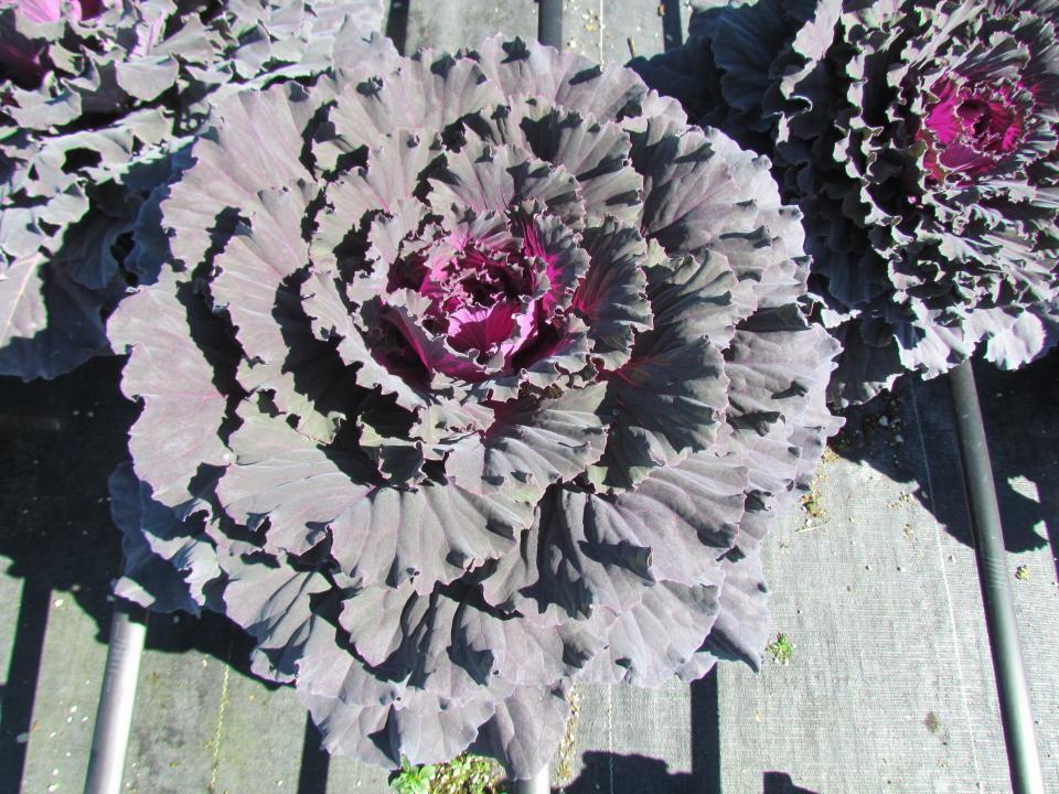Cabbage Osaka Dynasty Red