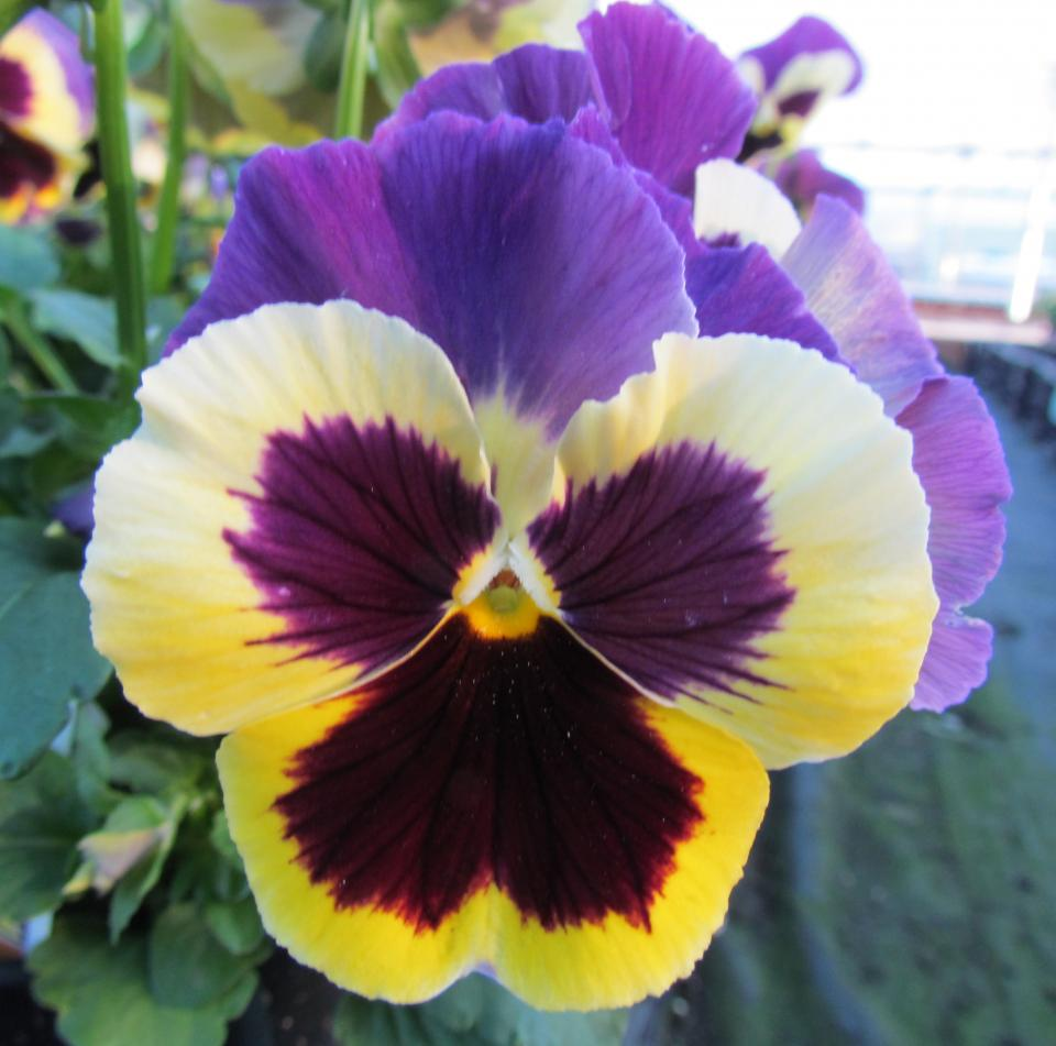 Pansy Delta Premium Yellow With Purple Wing