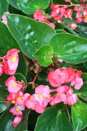 Begonia Whopper Rose With Green Leaf