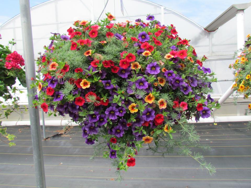 Hanging Basket Calibrachoa W Lotus Vine