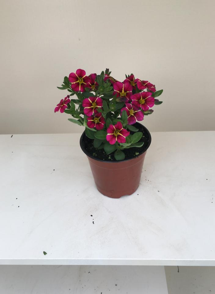 Picture of Live Superbells Cherry Star aka Calibrachoa 'Superbells Cherry Star' Plant Fit 1QRT Pot