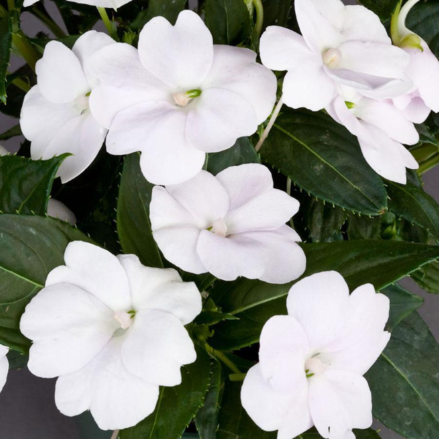 Sunpatiens Compact White White Impatiens Flowers