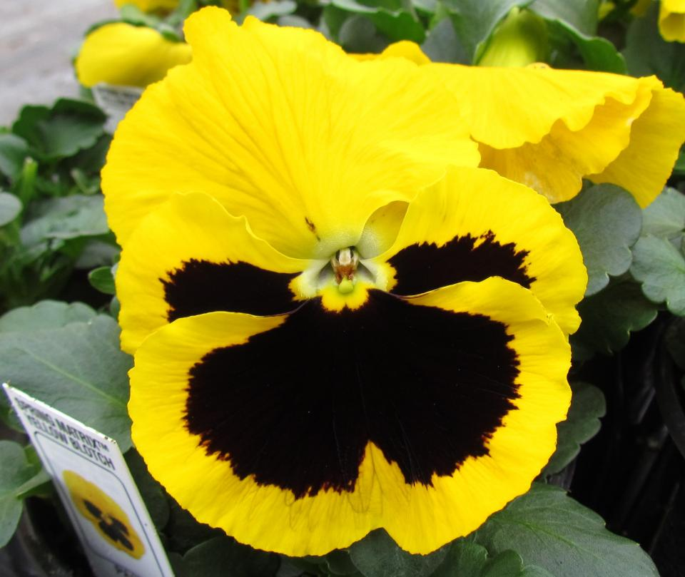 Pansy Spring Matrix Yellow Blotch