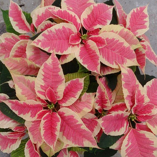 Poinsettia Christmas Beauty Marble Not Grown 2018