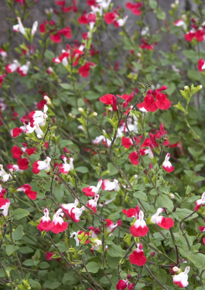 salvia microphylla salvia hot lips